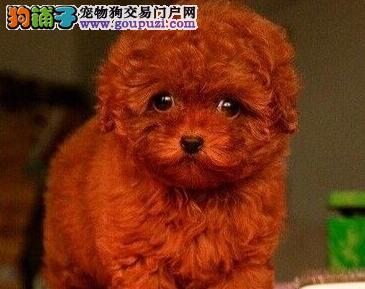 完美品相血统纯正松原泰迪犬出售CKU认证品质绝对保障