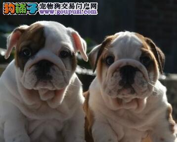 广州纯种斗牛犬出售 疫苗驱虫已做英牛包品质健康