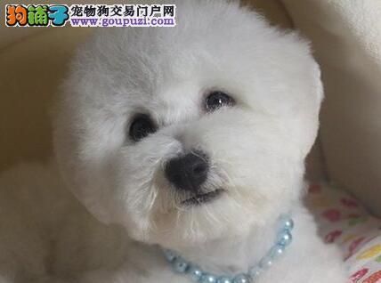 冠军后代幼犬 大眼睛甜美脸型比熊幼犬武汉多只出售4