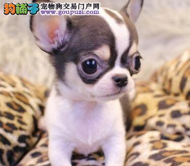 吉娃娃CKU认证犬舍自繁自销可签合同刷卡