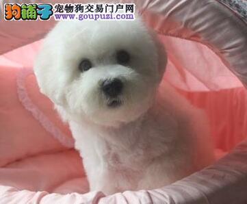 南宁实体狗场直销实物拍摄的比熊犬 没有任何杂毛