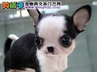 养殖场直销吉娃娃犬 品质保证 送用品 签协议保障