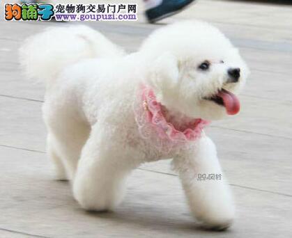 CKU认证犬舍出售高品质比熊微信看狗可见父母