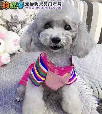 精品纯种哈尔滨泰迪犬出售中价格实惠欢迎实地挑选
