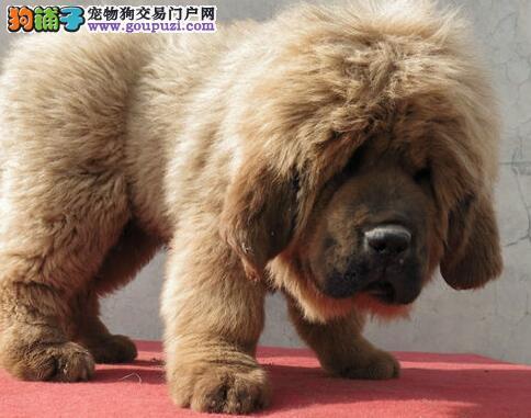 出售 血统纯正 品质保障 原生态大狮头藏獒幼犬