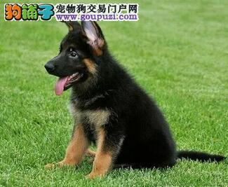 喜欢锤系德国牧羊犬的朋友看过来 杭州犬舍周年优惠