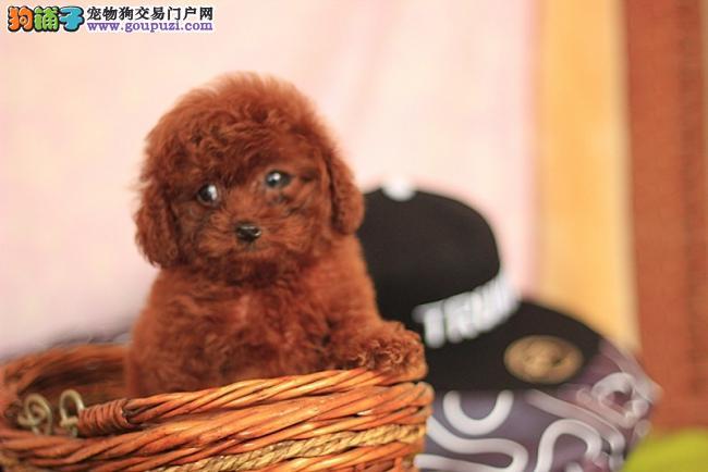 广州哪里有卖茶杯犬 哪里的茶杯犬好