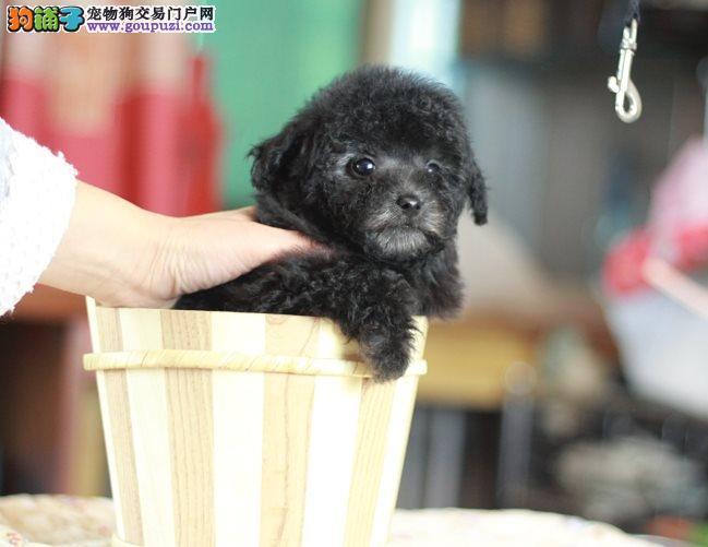 茶杯型贵宾犬可爱纯种,高智商漂亮乖巧 可上门挑选