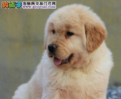 促销极品优秀金毛犬 宁波地区最优秀犬舍直销出售