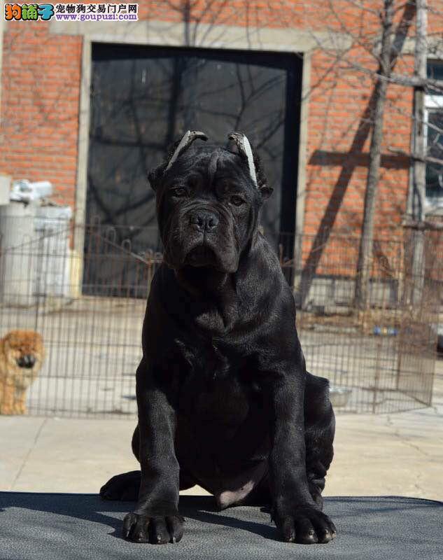 卡斯罗犬价格