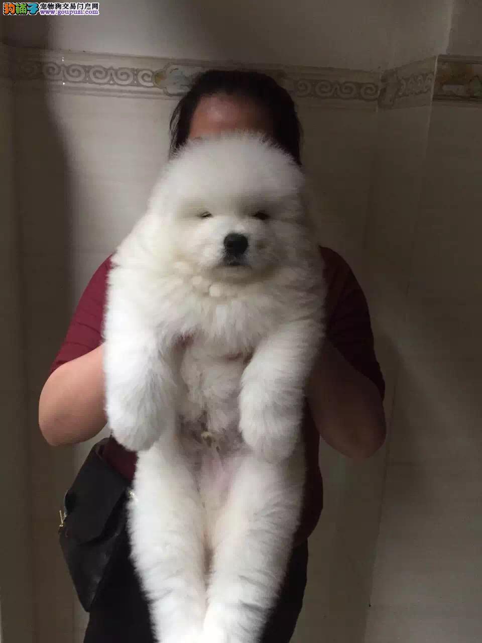 纯种大白熊犬出售,疫苗驱虫都做齐,签署终身质保协议