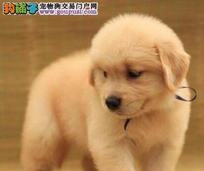 安全购买纯种金毛犬的基本方法