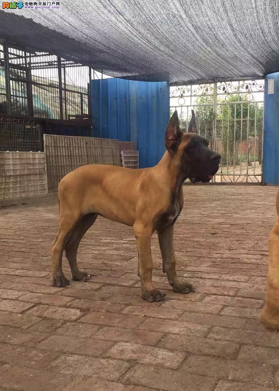 犬舍直销品种纯正健康大丹犬品质优良诚信为本