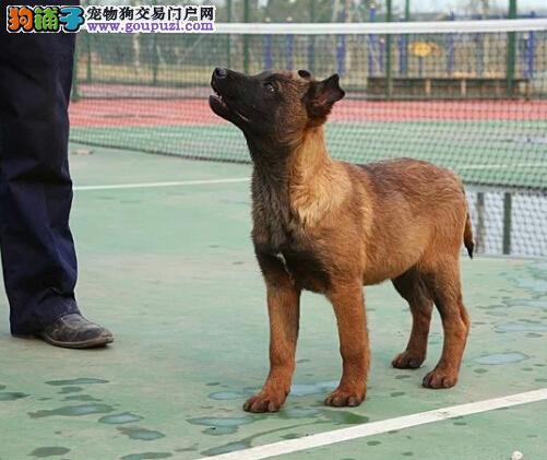 哈尔滨出售马犬公母都有品质一流期待您的光临3