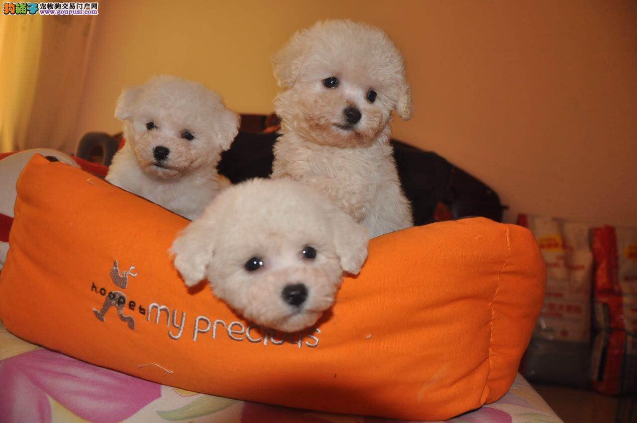 上海专业玩具茶杯迷你泰迪繁育中心出售高品质茶杯幼犬