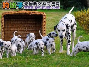 CKU犬舍认证出售高品质郑州斑点狗签署质保合同