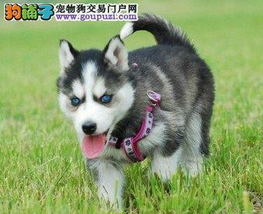 广州售小哈二哈哈士奇公狗幼犬西伯利亚雪橇犬可挑选