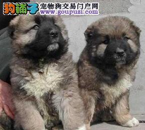 出售带血统的昆明高加索幼犬 绝对的品质优秀包售后