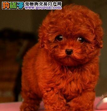 青岛狗场出售韩系血统泰迪犬 已做好进口疫苗和驱虫2