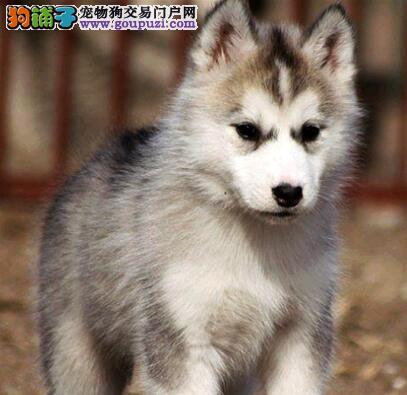 怎样通过外貌特征判断哈士奇幼犬是否纯种5