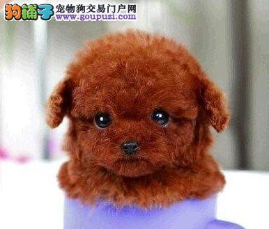 青岛狗场出售韩系血统泰迪犬 已做好进口疫苗和驱虫1