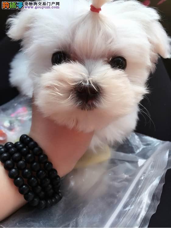 出售娇小 迷人 高贵的马尔济斯幼犬 顶级气质签协议
