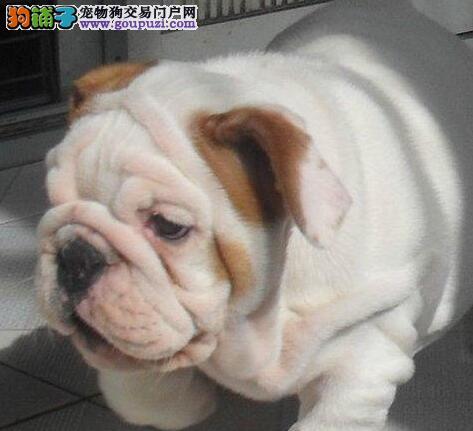 英国斗牛犬幼犬出售 长相憨萌 身体健康多只可选 可视频选狗