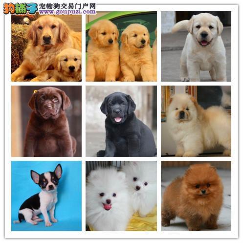 出售世界各类名犬、支持上门看狗、加微信咨询有折扣2