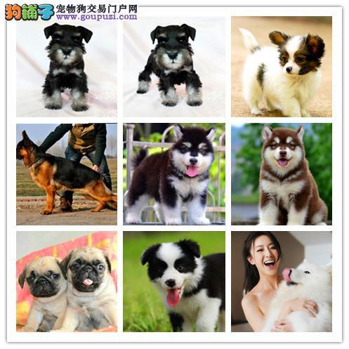 出售世界各类名犬、支持上门看狗、加微信咨询有折扣3