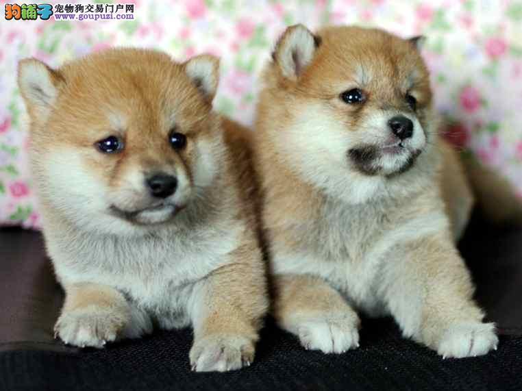 热销多只优秀的纯种柴犬幼犬签订终身纯种健康协议