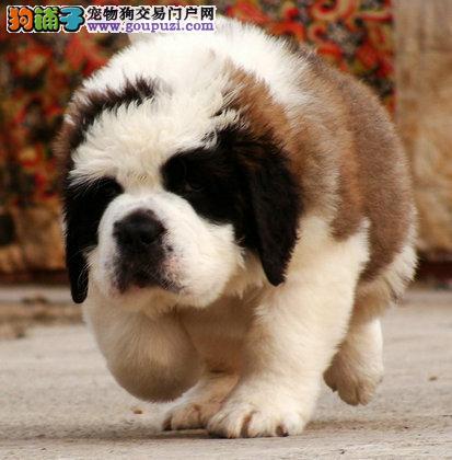 喀什高大威猛圣伯纳幼犬头版大骨量足出售