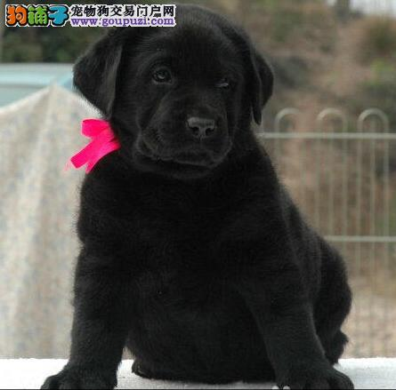 门头沟区售神犬小七 纯种拉拉幼犬 三针齐全拉布拉多
