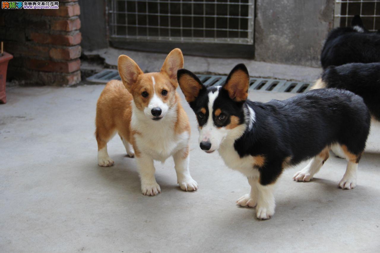 济宁市出售柯基犬宝宝 健康纯种 终身质保 可送货