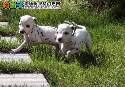 斑点狗幼犬热销中,金牌店铺放心选,微信咨询看狗