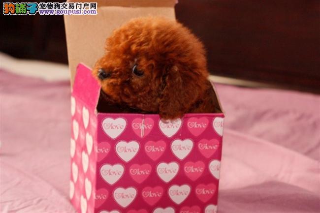 福州实体店出售精品茶杯犬保健康品质一流三包终身协议