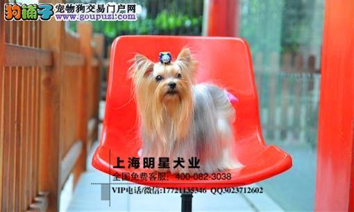 上海明星犬业出售约克夏纯种健康