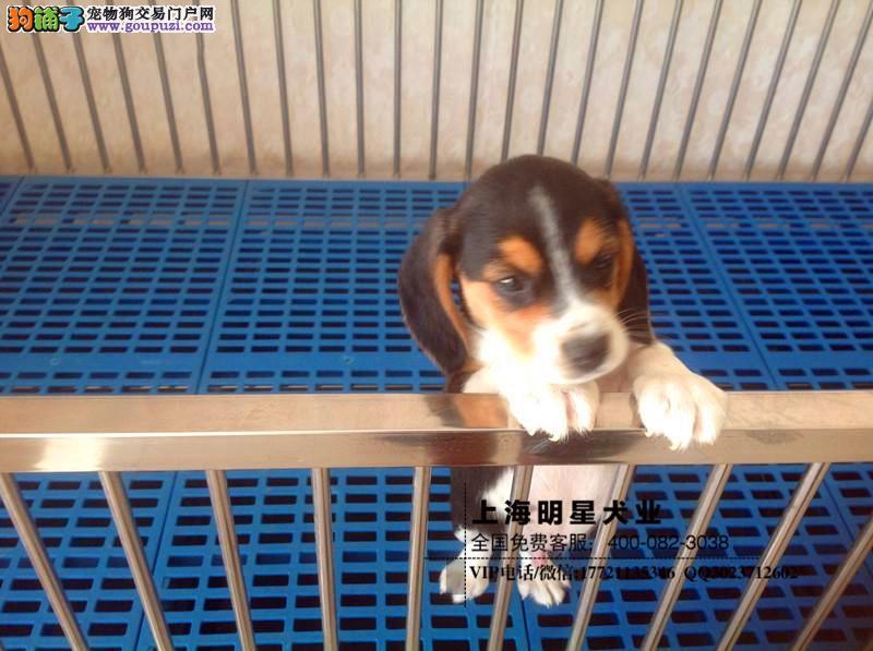 国内最专业的明星犬业出售 比格保证纯种健康2