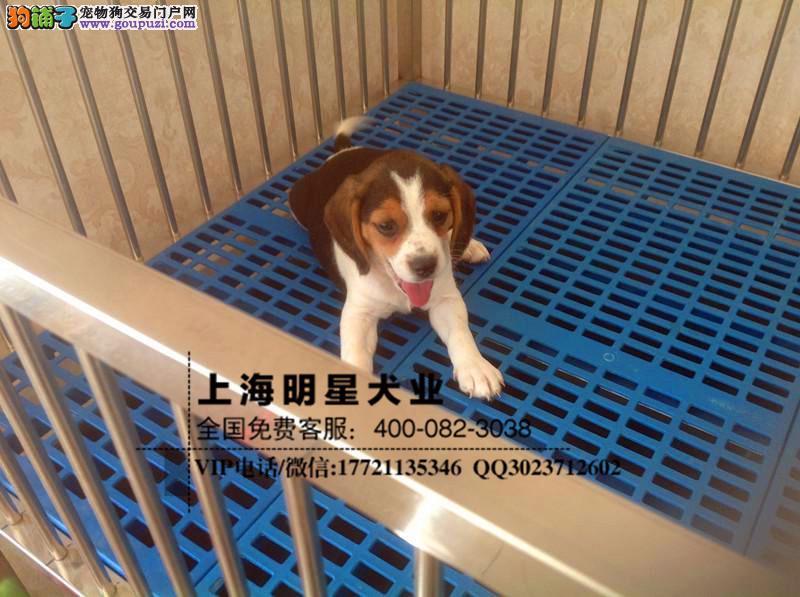 国内最专业的明星犬业出售 比格保证纯种健康3