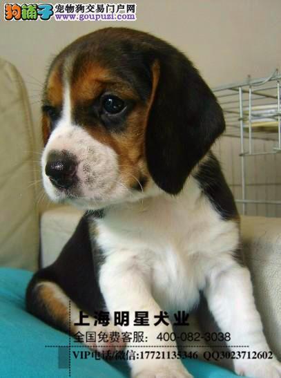 国内最专业的明星犬业出售 比格保证纯种健康1