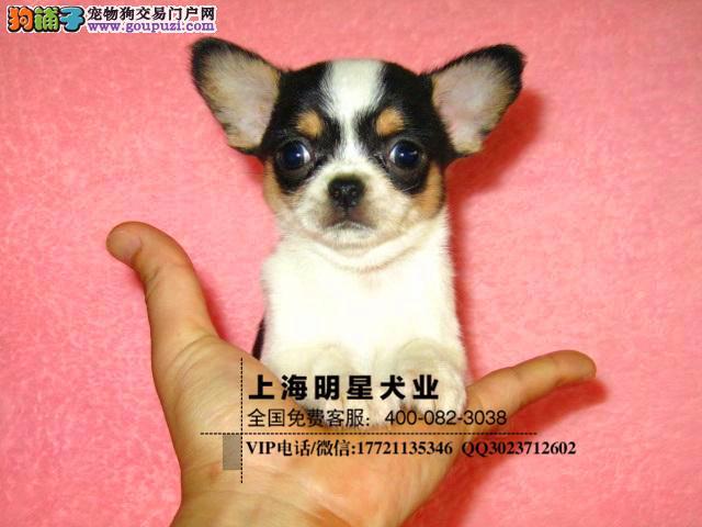 国内最大的吉娃娃犬舍基地签订协议健康