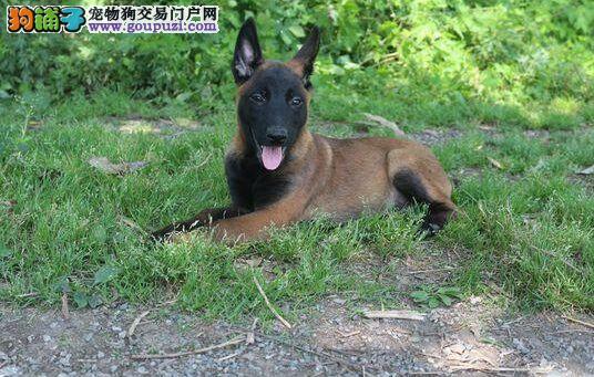 北京出售优质马犬 签订正式合同 公司章 三年质保