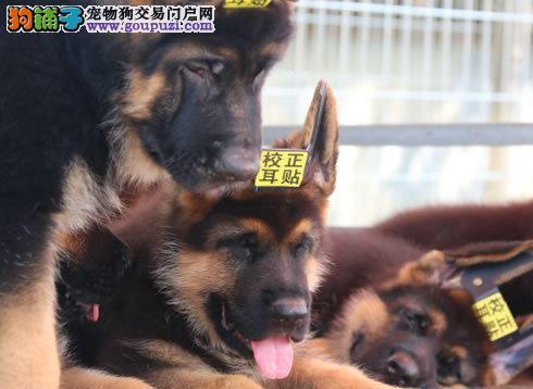 北京最大的德牧犬基地 完美售后 质量三包 可送货上门