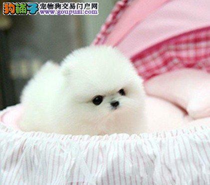 北京最大的博美犬基地 完美售后 质量三包 可送货上门