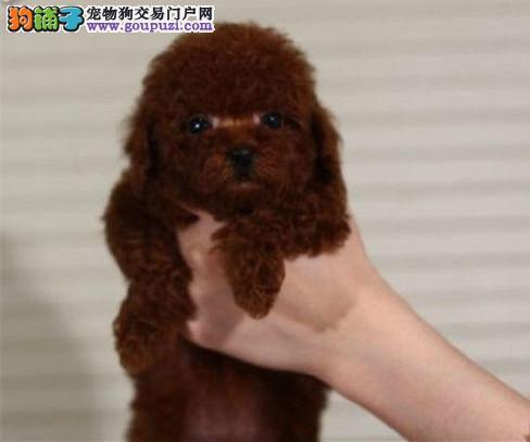 北京最大的泰迪犬基地 完美售后 质量三包 可送货上门2