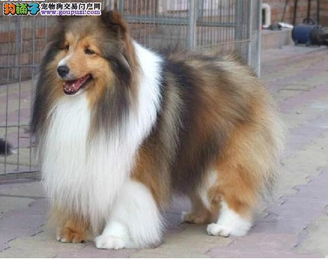 北京最大的苏牧犬基地 完美售后 质量三包 可送货上门