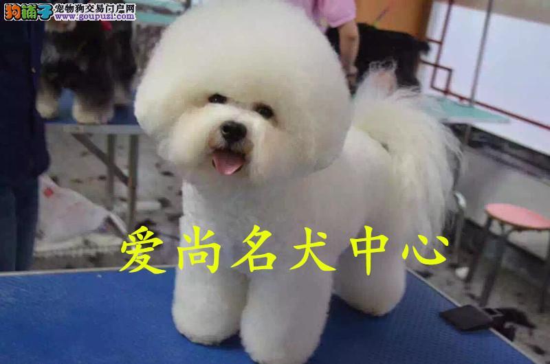 北京最大比熊犬基地 完美售后 可送货上门