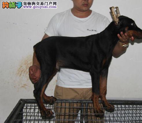 北京最大的杜宾犬基地 完美售后 质量三包 可送货上门