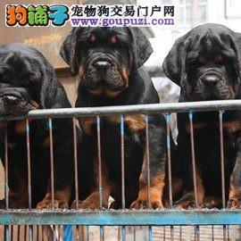 成都最大罗威纳犬基地 完美售后 质量三包 可送货上门