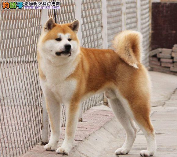 北京最大的秋田犬基地 完美售后 质量三包 可送货上门