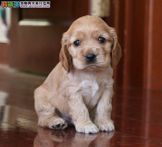 广州出售大骨架可卡犬幼犬 聪明高智商可卡超好养听话
